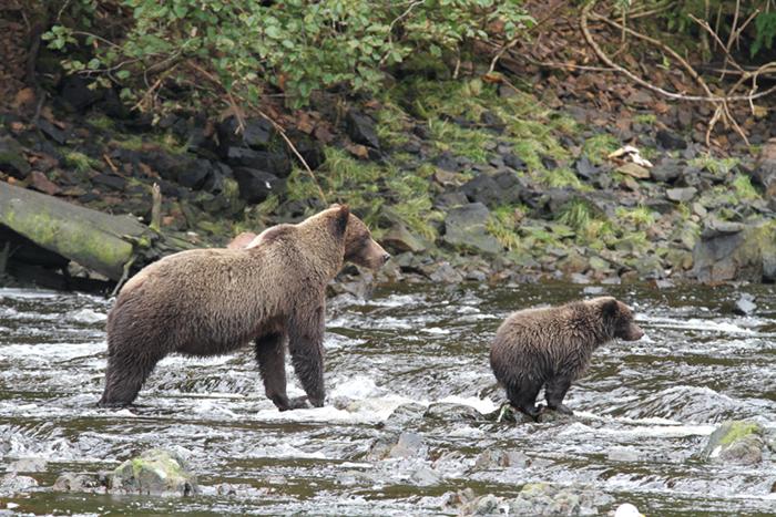 Admiralty Island brown bears