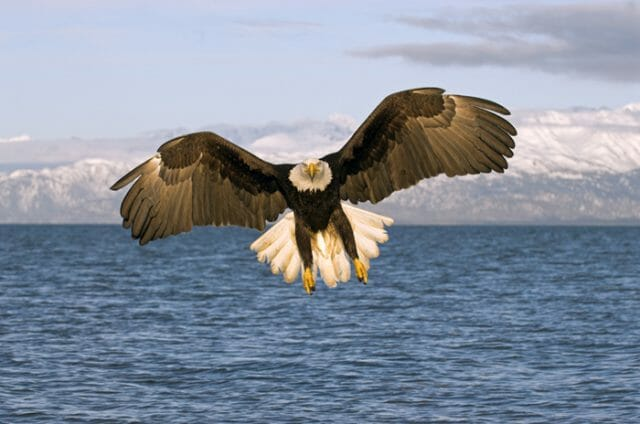Alaska bold eagle