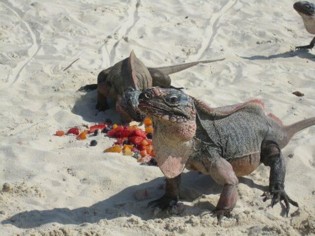 Allen Cay iguanas