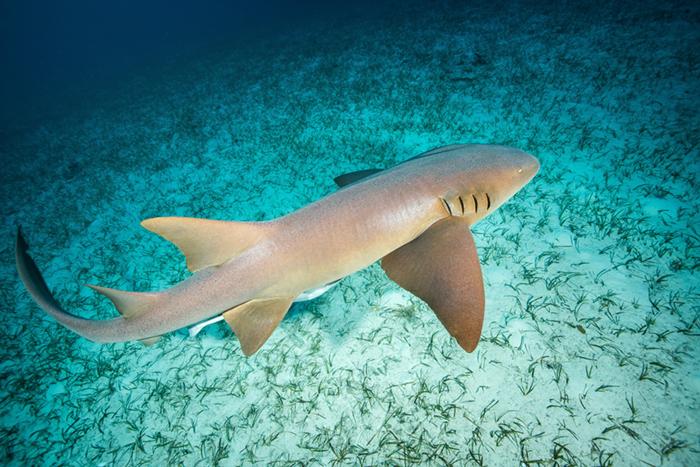 Caribbean nurse shark