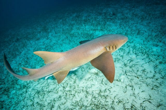 Caribbean nurse shark