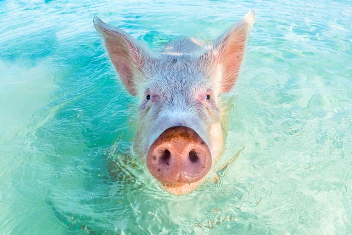 Exumas swimming pigs