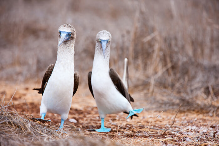 Galapagos - blue footed booby dancing