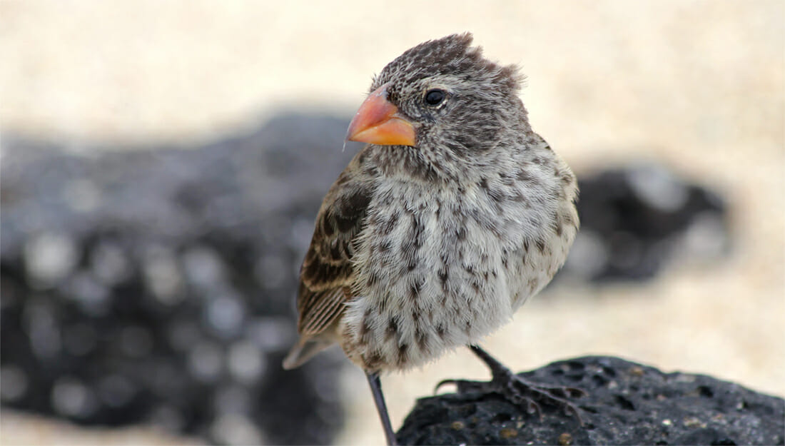 Galapagos finch