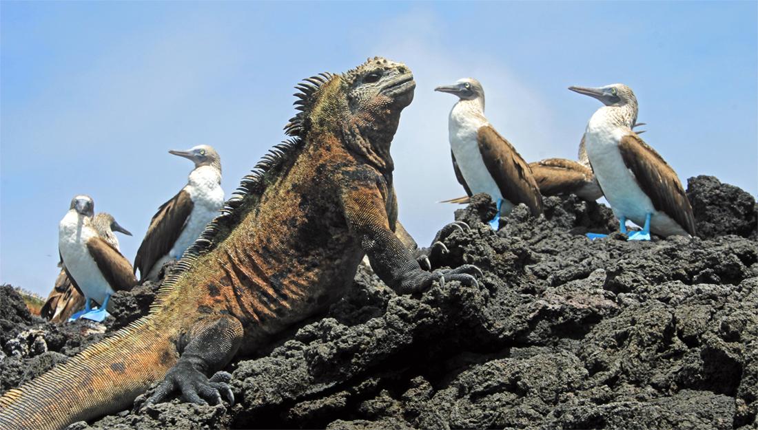 Galapagos iguana and birds