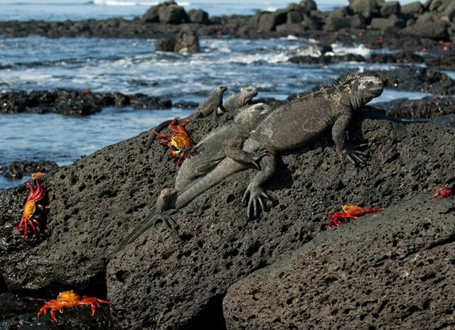 Galapagos water iguanas