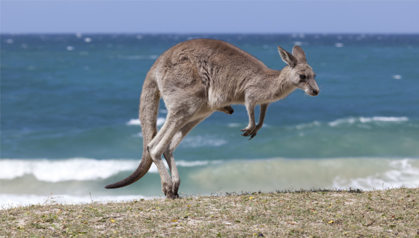 Kangaroo on a beach