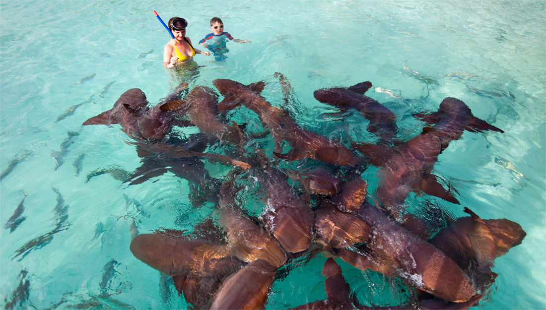 Snorkeling with nurse sharks