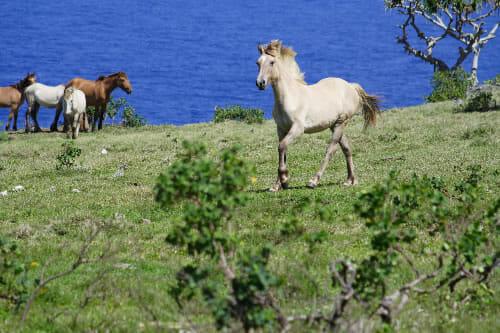 Tonga horses